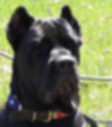 Black Pearl Cane Corso Breeder