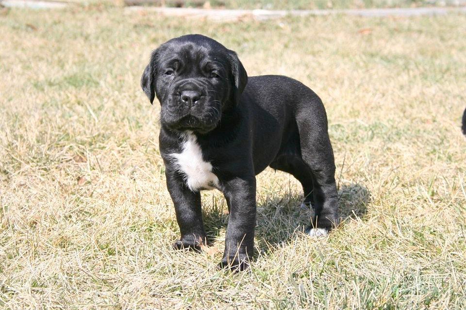 Black Pearl Cane Corso | Cane Corso breeder in MI | Cane ...