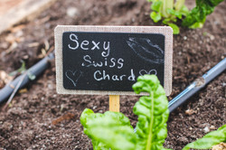 Sexy swiss chard 2 copy