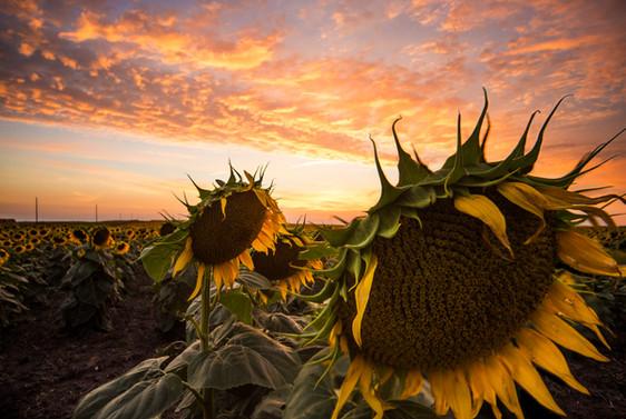 South Dakota's Sunflower Sunsets