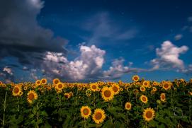 Sunflowers Basking in the Moonlight