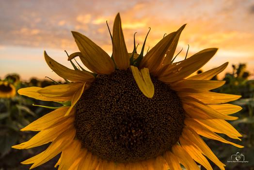 Sleeping Sunflowers
