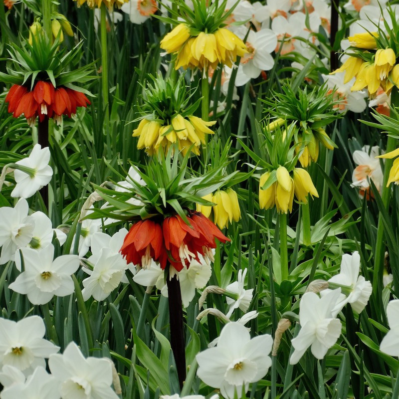 narcisses et fritillaires impériales dans les jardins fleuris du parc privé keukenhof, en hollande