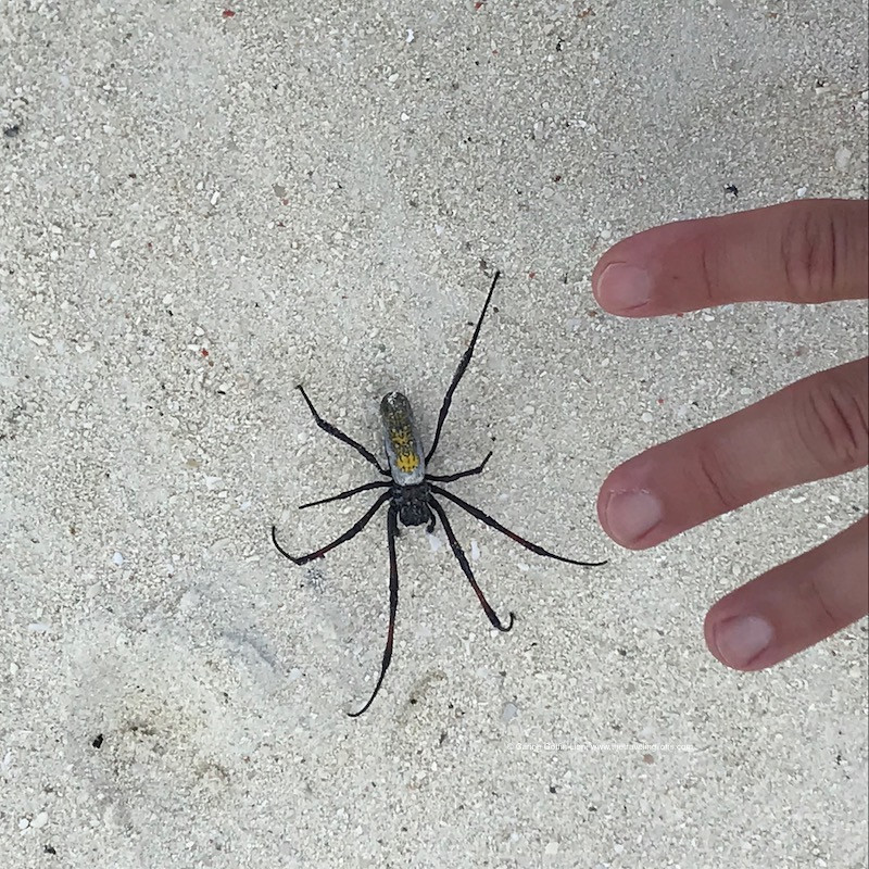 Nephila Inaurata Madagascariensis, rencontrée sur la plage de Kendwa, Zanzibar