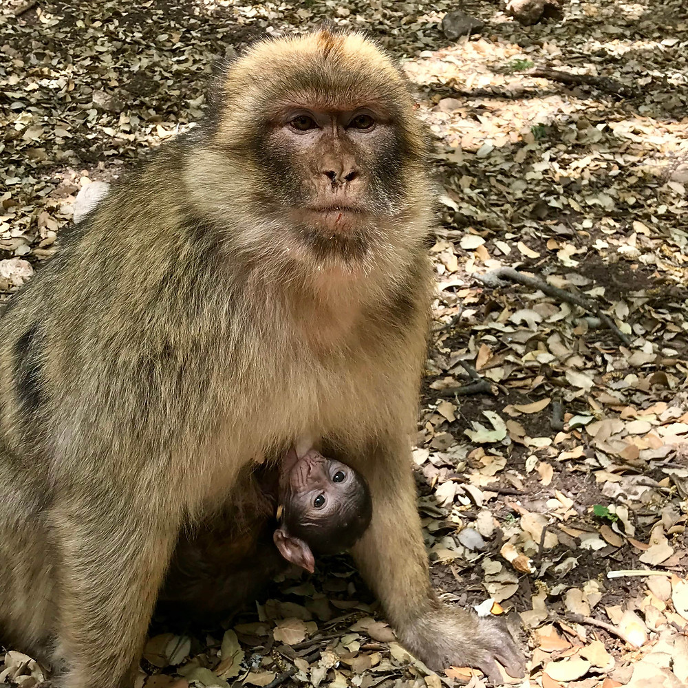 macaque de barbarie, foret de cedres, Maroc, mere et petit