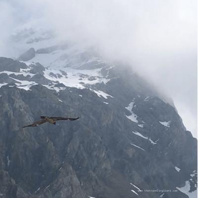 Gypaète en vol au dessus de la route du col de l'iseran, dans les alpes du nord, entre val d'isere et bonneval-sur-arc (France)