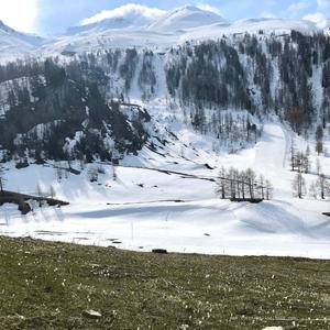 Tapis de crocus en bord de route, vers le Col de l'Iseran
