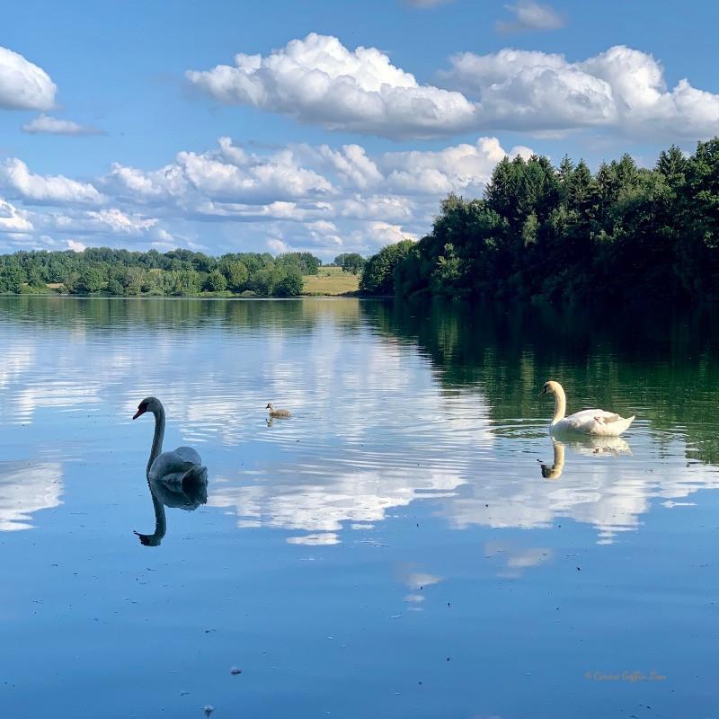 Famille cygne sur le lac de la Plate Taille, domaine des lacs de l'eau d'heure, froidchapelle, pays des lacs