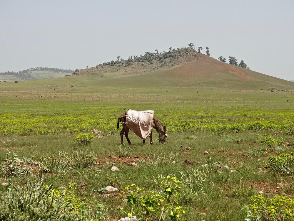 âne dans la plaine, Maroc