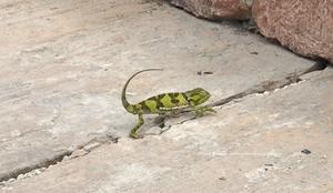 Caméléon rencontré à Kendwa, Zanzibar