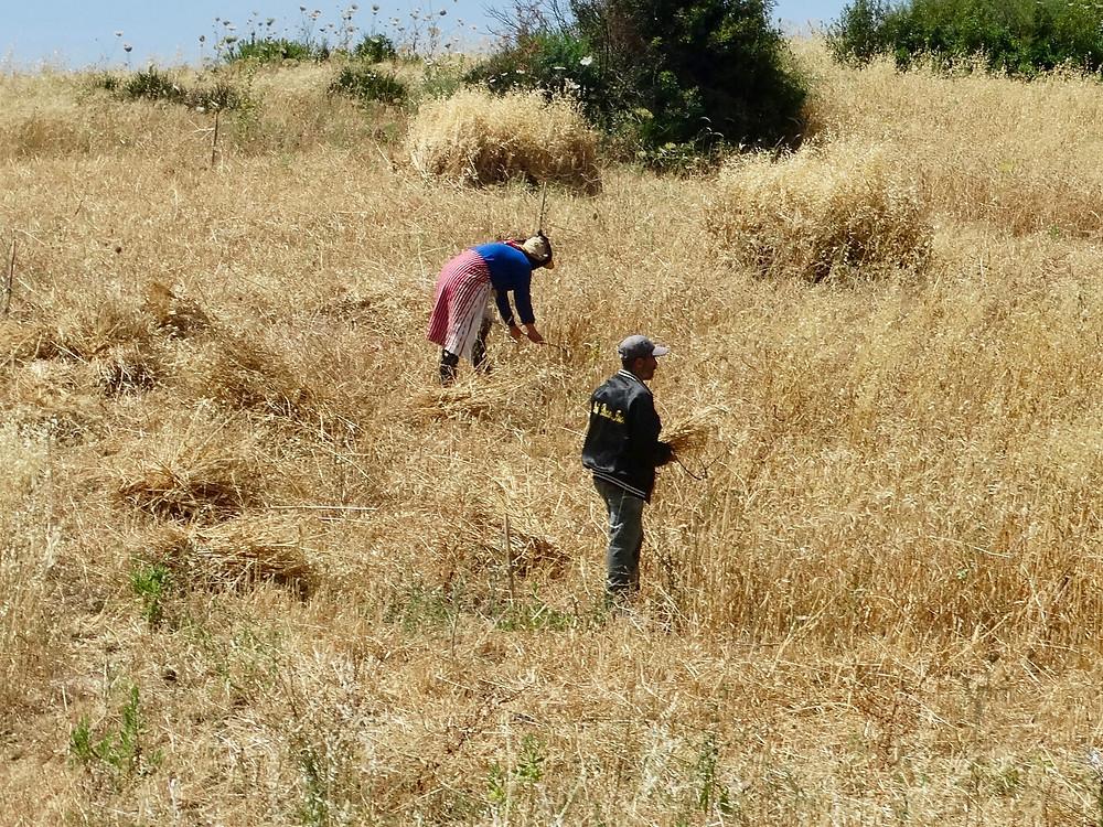 recolte des cereales a la main, region du rif