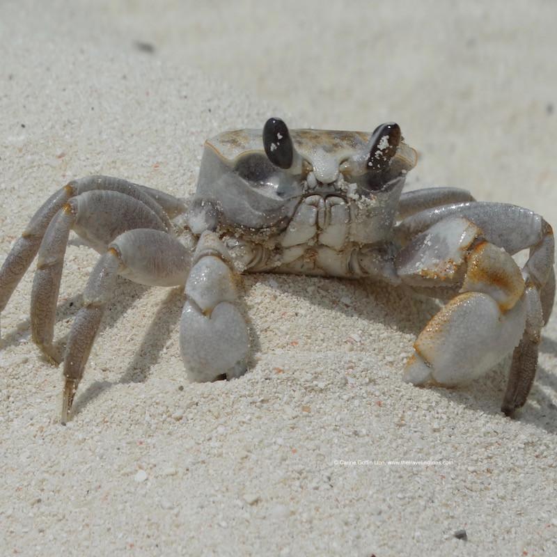 Crabe fantôme, sur la plage de Kendwa