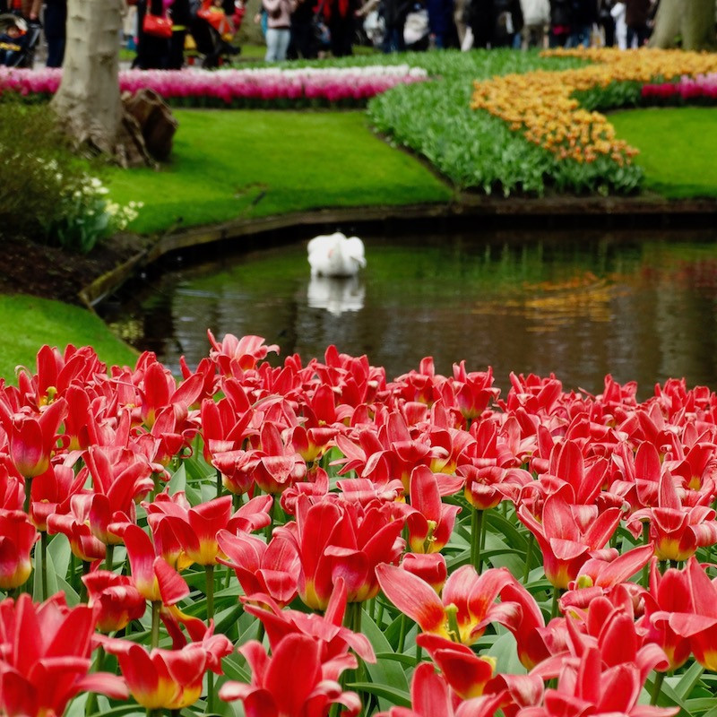 jardin de tulipes rouges à lisse, près d'Amsterdam