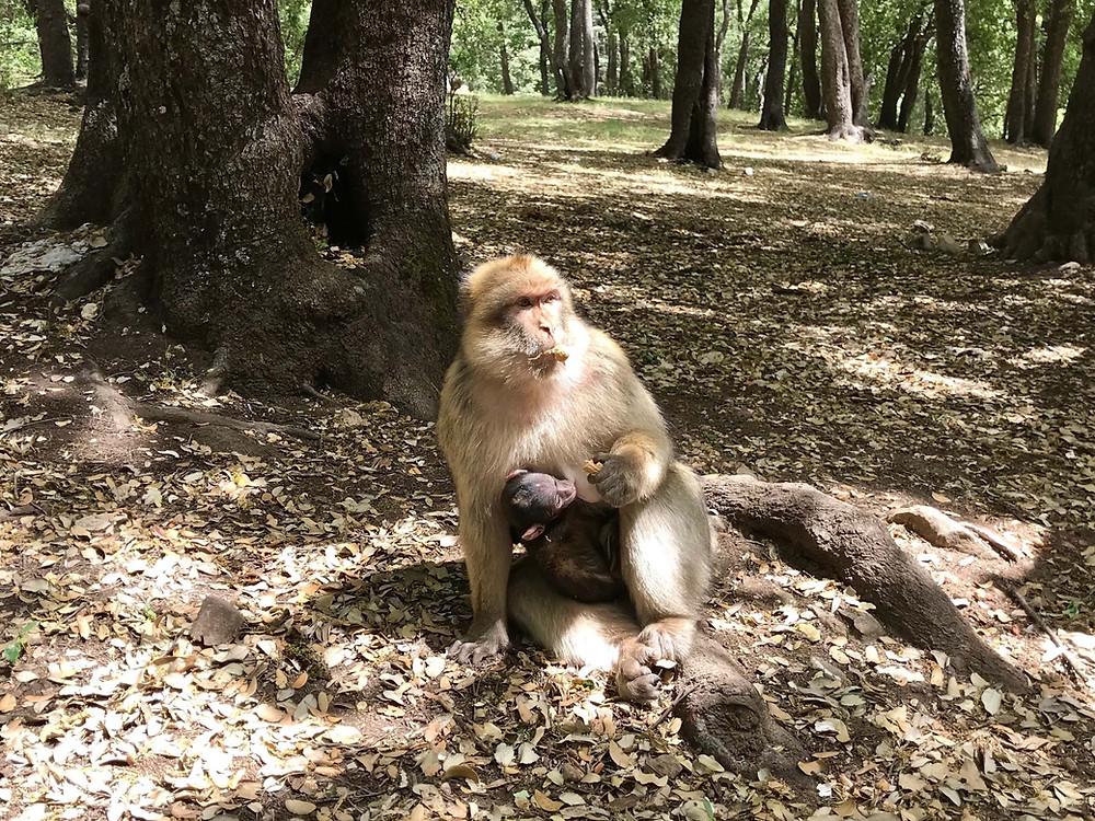macaque de barbarie, foret de cedres, Maroc, mere et son petit