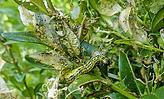 frassschaeden-raupe-buchsbaumzuensler-01