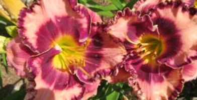 Mountain Wildflower