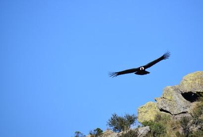 Otro-cóndor-andino-volvió-a-volar-en-libertad-en-San-Luis..jpg