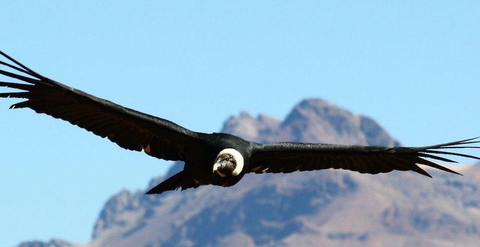 Arbol del Sur condor andino