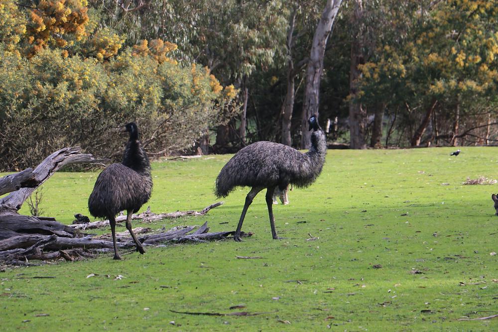 Emu ostriches