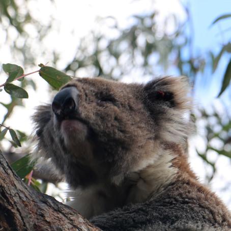 Raymond Island - остров коал.