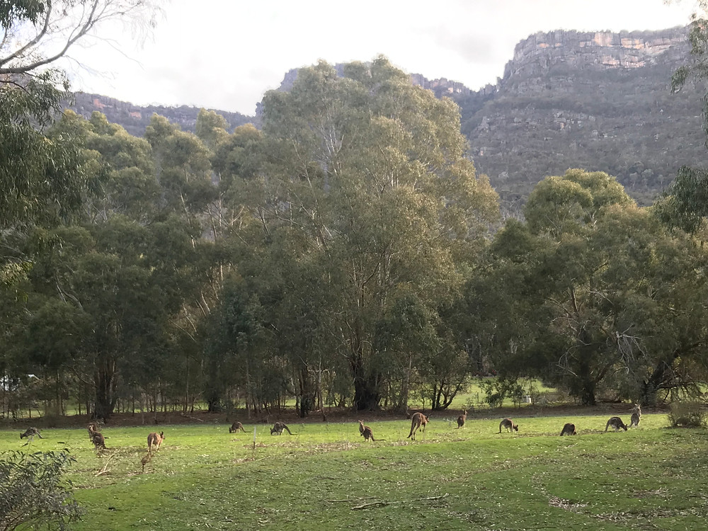 There are a lot of kangaroos in the Halls Gap