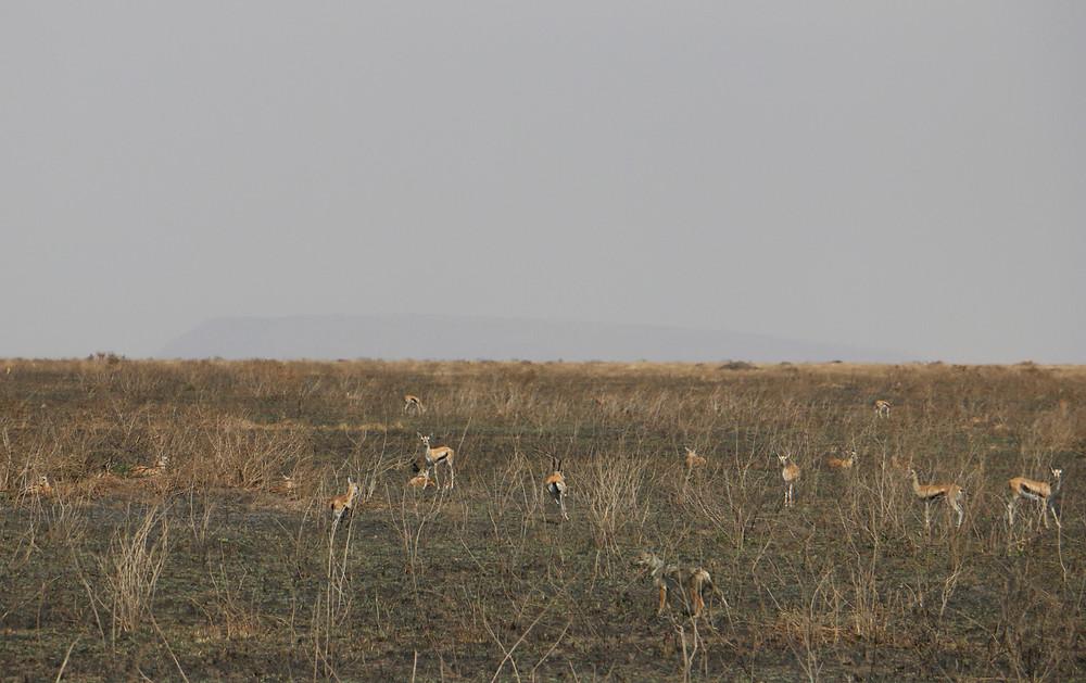 Шакал и антилопы импала| skitour.club| Блог Сергея Чеботова