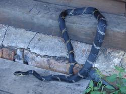 Amur Ret Snake