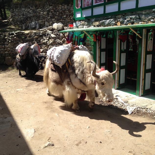 Яки основной транспорт Непала.