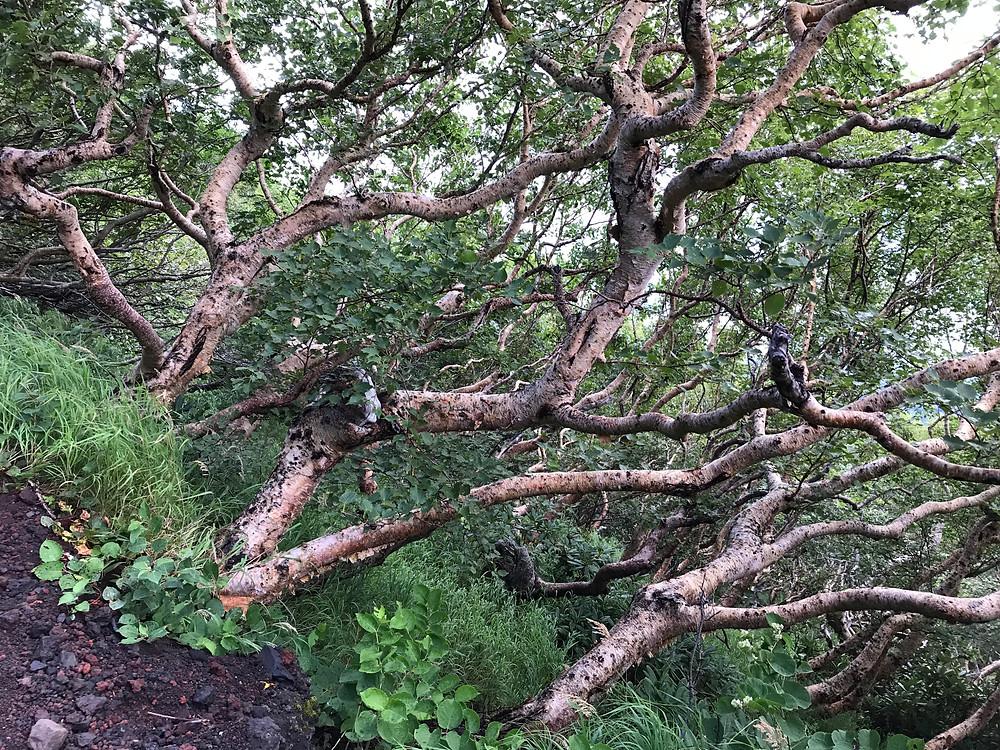 Высокогорный лес.