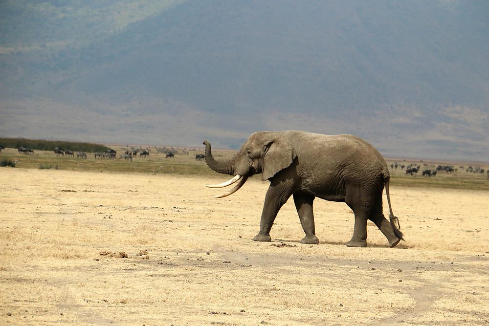 Африканский слон| skitour.club| Блог Сергея Чеботова