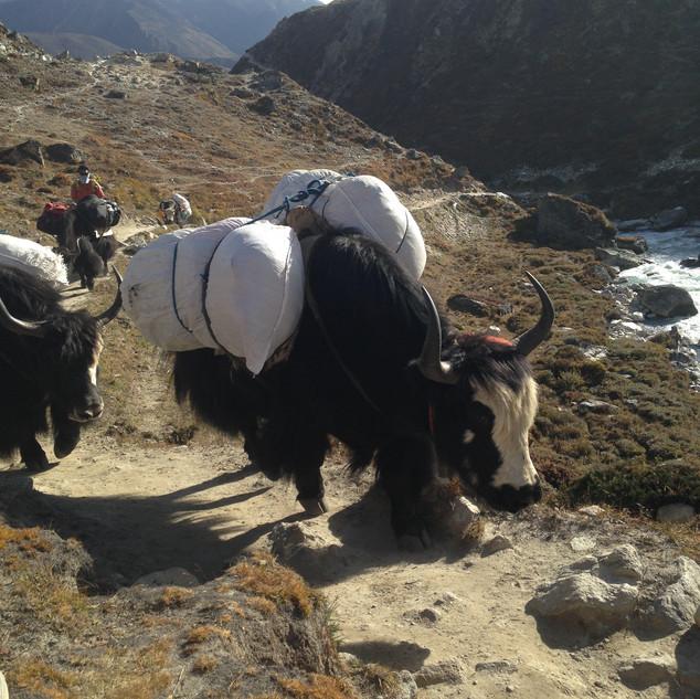 Яки основной транспорт Непала