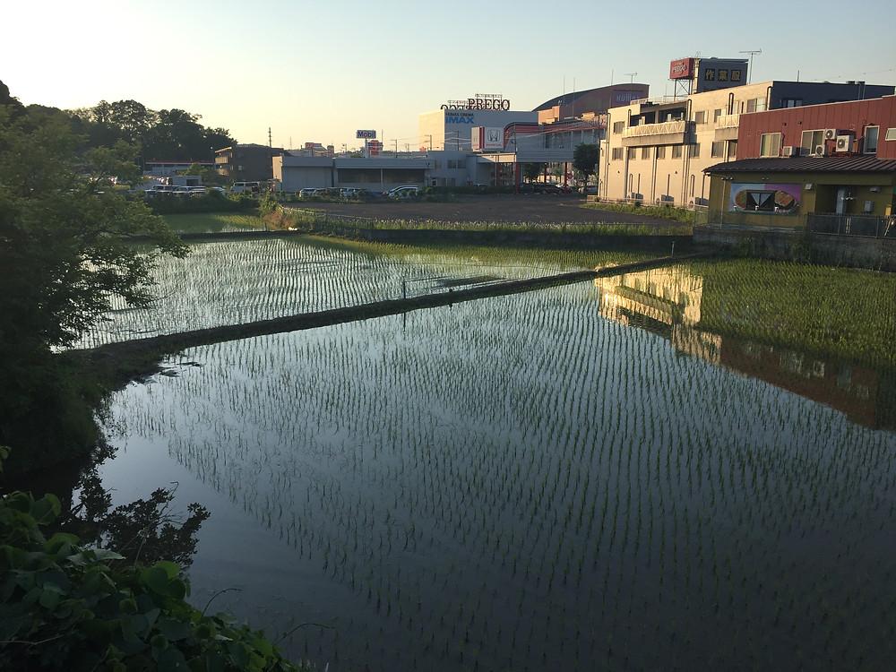 Посадки риса