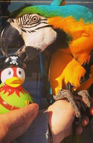 pirate parrot pic.jpg