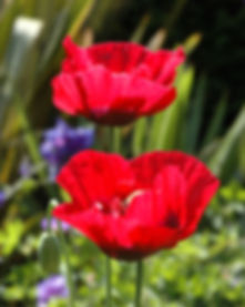 Poppy_05.jpg