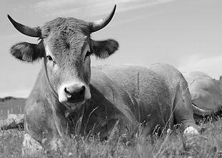 vache-race-aubrac_edited.jpg