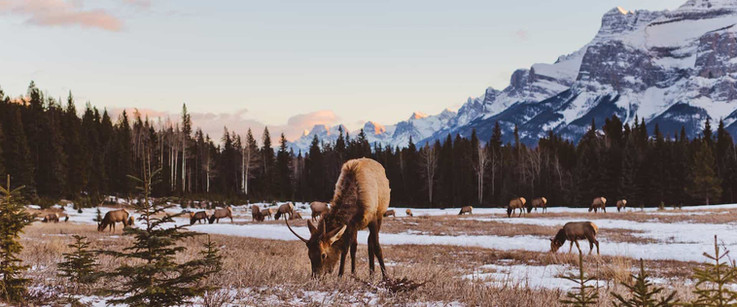 See-elk-in-Banff-National-Park-on-the-Ev