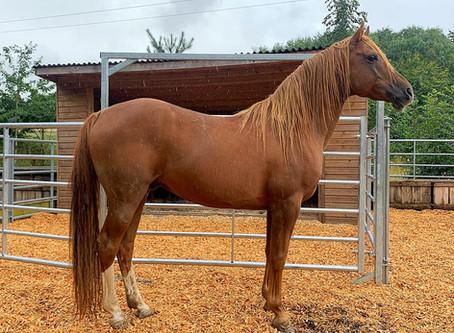 OSO Arabians UK Stud Tour 2020   Day 5 (Pt 1): Whitton Park Arabians, Ludlow Shropshire UK