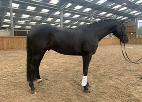 OSO Arabians UK Stud Tour 2020   Day 4: Hoy Eventing, Rutland UK