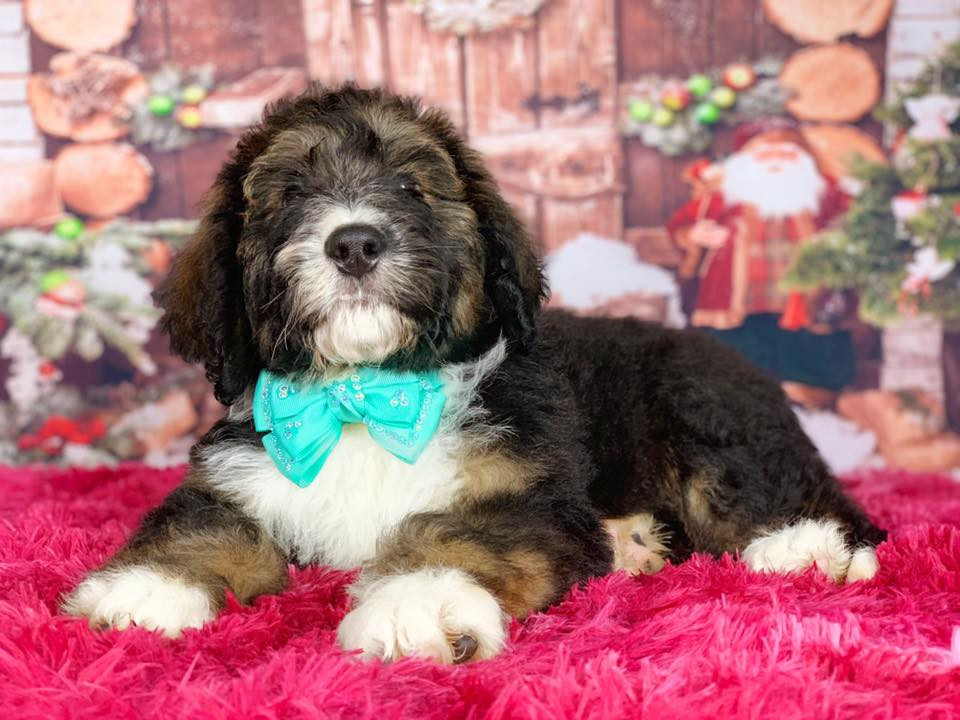 Bernedoodle Puppies Nc Doodle Puppies United States