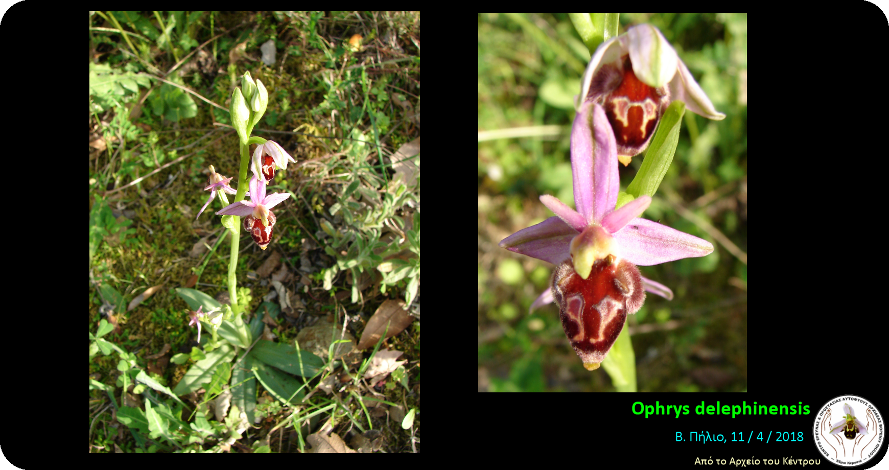 Ophrys delephinensis