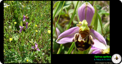 Ophrys apifera_2.png
