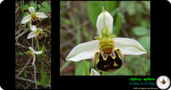 Ophrys apifera_1.png
