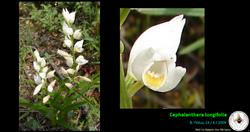 Cephalanthera longifolia.png