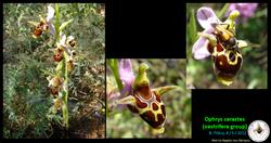 Ophrys cerastes.png