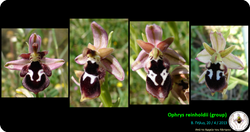 Ophrys reinholdii (group).png