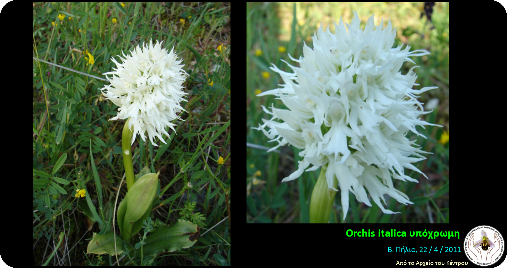 Orchis italica υπόχρωμη.png