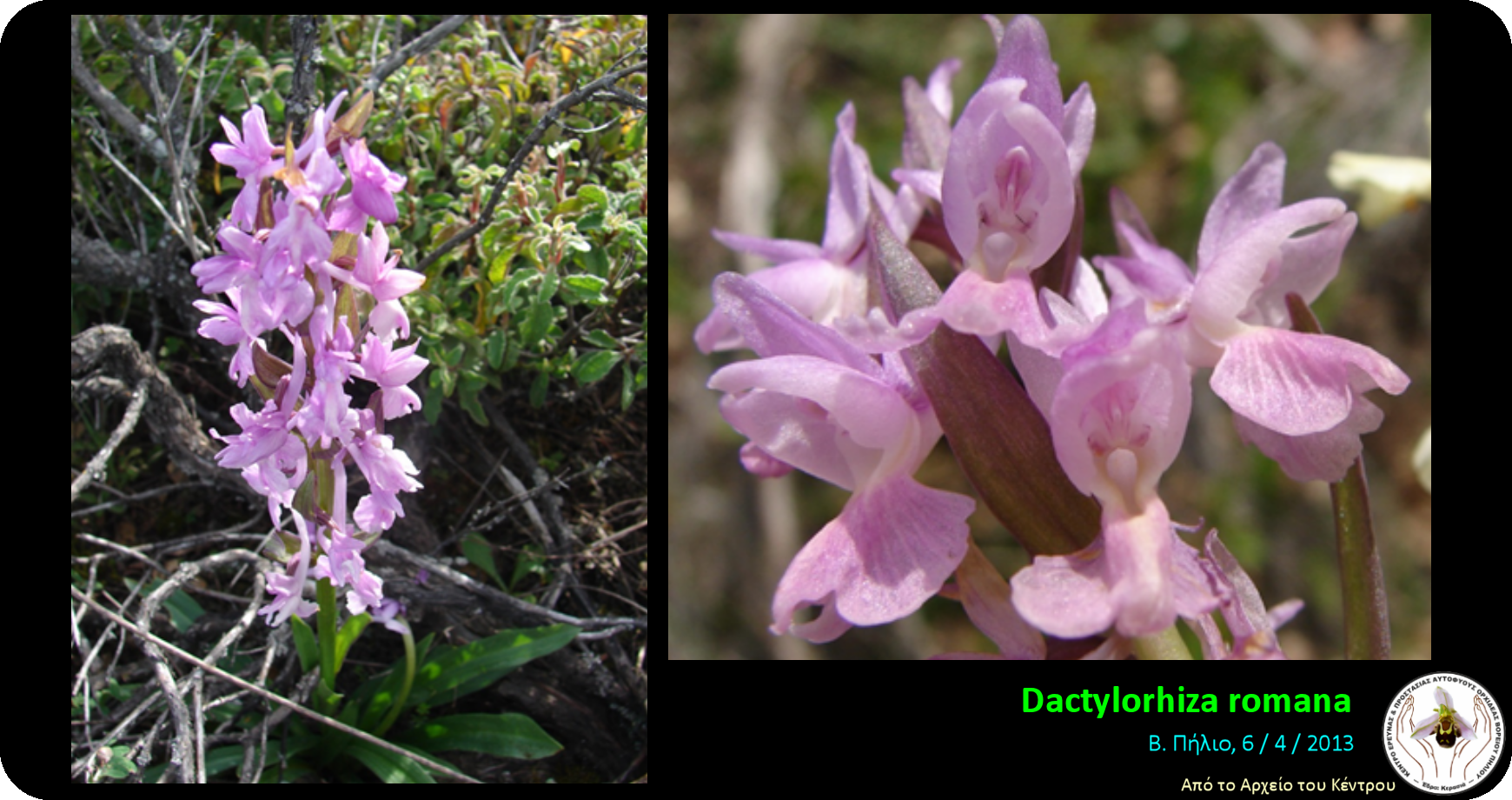 Dactylorhiza romana.png