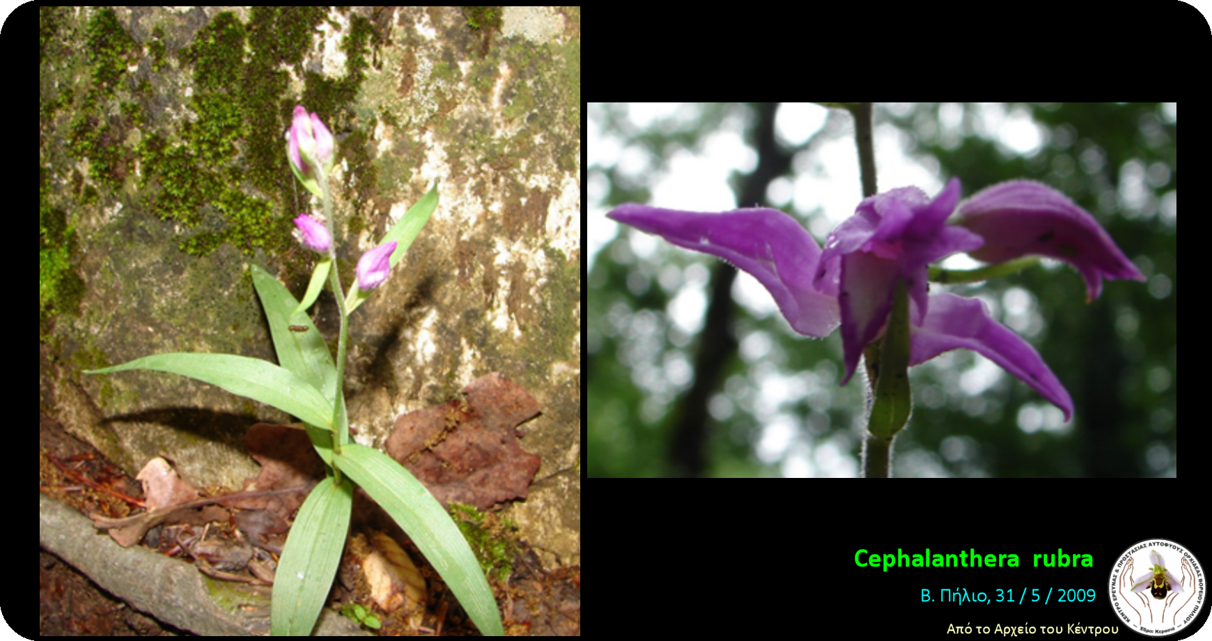 Cephalanthera rubra.png