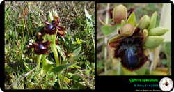 Ophrys speculum.png
