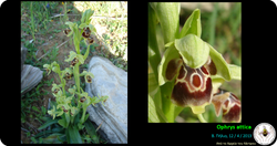 Ophrys attica.png